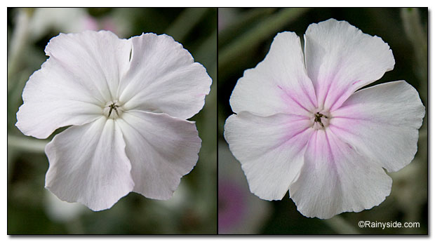 White flowers of L. 'Alba' and L. 'Angel's Blush'.