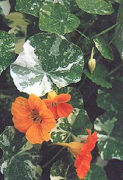 annual flowering plants