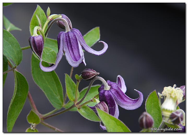 Clematis 'Fascination'