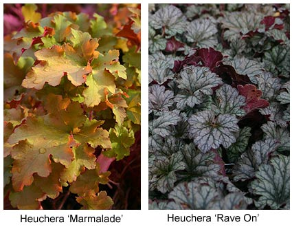 Heuchera sampler