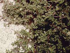 Wooley Thyme
