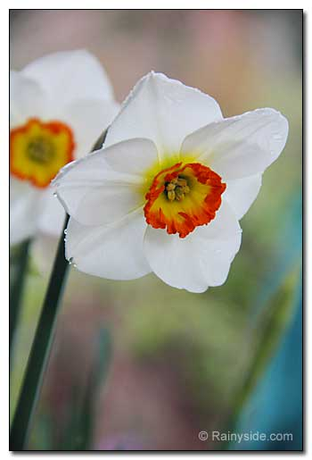 Narcissus 'Merlin'