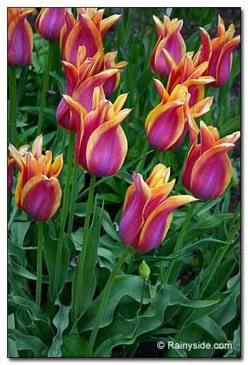 Tulipa 'Ballard Dream'