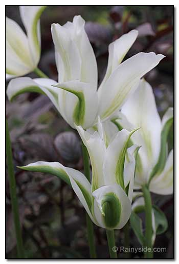 Tulipa 'Green Star'