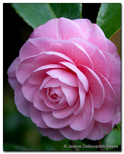 Camellia 'Pink Perfection'