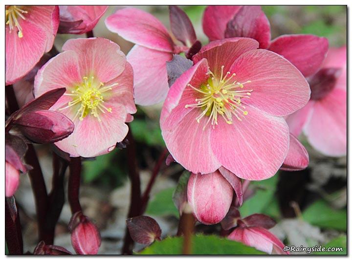 'HGC rosa Frost Helleborus