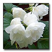 Mock Orange (Philadelphus virginalis) flowers