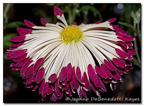 maroon and white spoon chrysanthemum