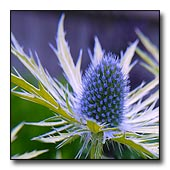 golden sea holly
