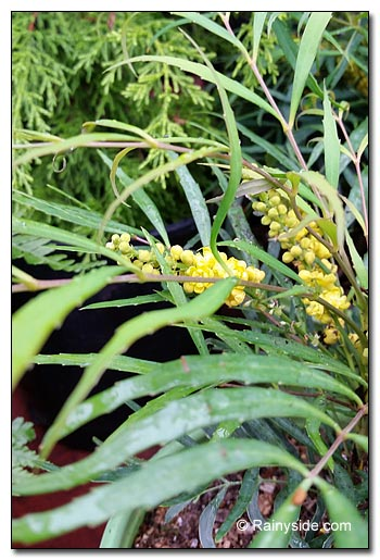Mahonia 'Soft Caress'