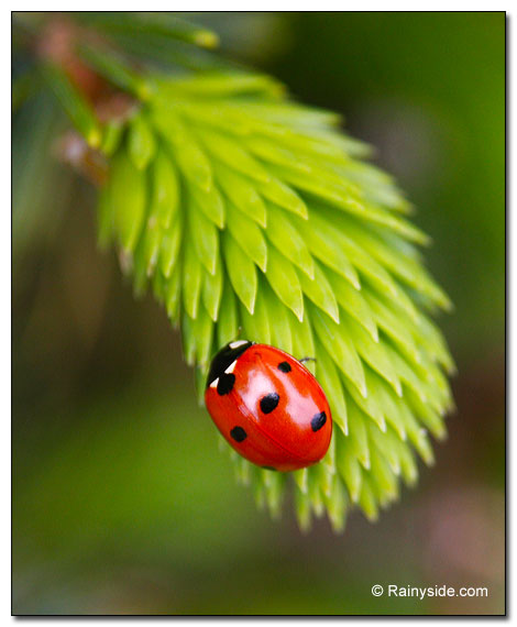 Ladybug on Sitka Spruce Needles