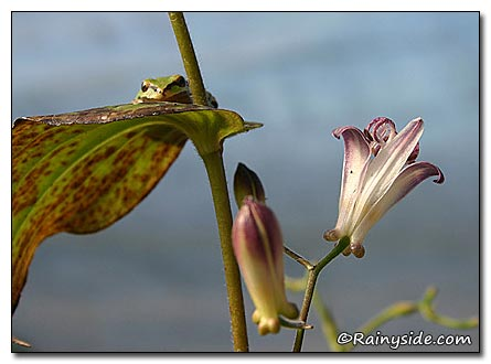Pacific Tree Frog on a Toad Lily