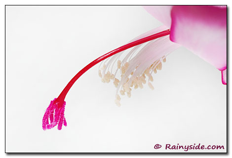 Pistil and Stamens of a Christmas Cactus