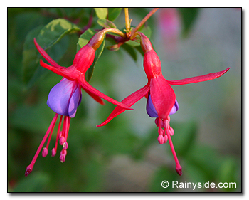 Fuchsia 'Pat's Dream'