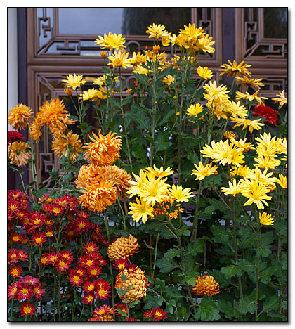 Autumn colored mums