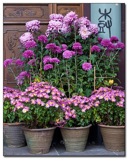 Chrysanthemums Signal Upcoming Seasons