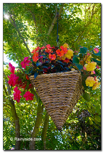 Begonia and impatiens basket suspended from a tree limb
