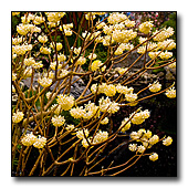 Fragrant Edgeworthia  flowers