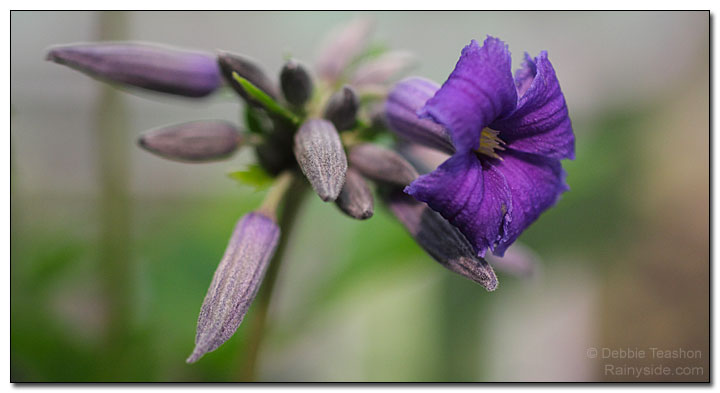 Clematis 'New Love' flower