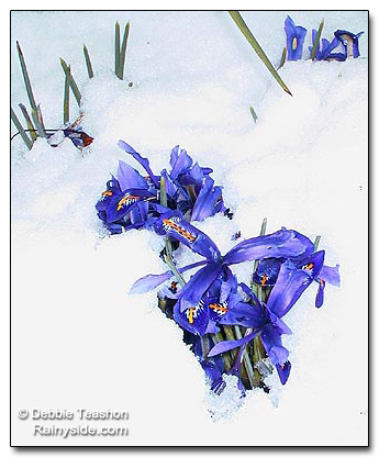 Iris reticulata in snow