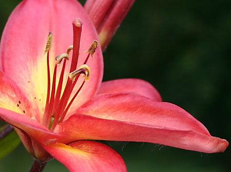 Asiatic LILY</span>