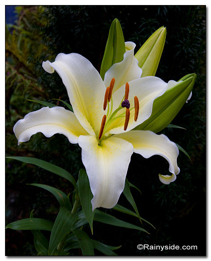 Gold band lily