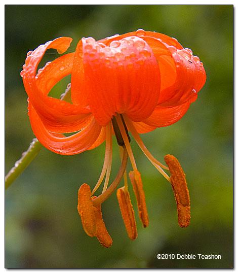 Lilium Pumilum Coral Lily