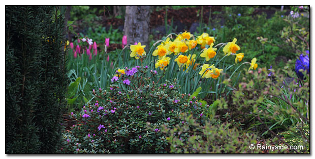 Tulip 'China Girl', Narcissus 'Suada' and Rhododendron impeditum