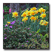 Narcissus, tulips and rhododendrons
