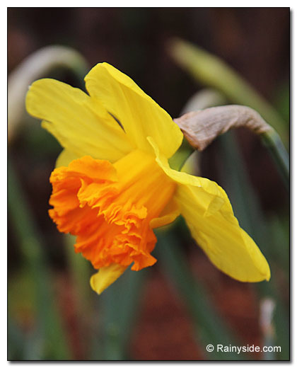 daffodil with frilly cup