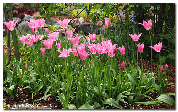 large swath of tulips in the garden.