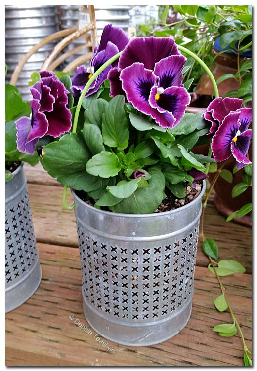 Pansy in metal lantern