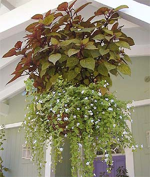 Bacopa and Coleus