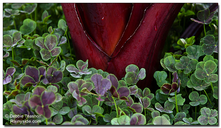 red banana stem and clover foliage