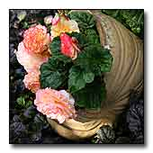 Begonia in a Shell Pot