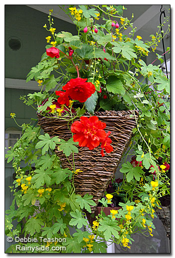 Canary creeper hanging basket