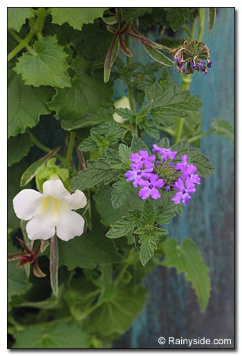 Lophospermum and Verbena