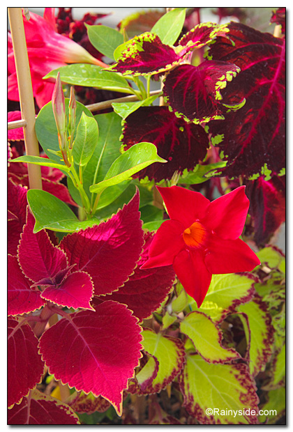 Mandevilla and Coleus