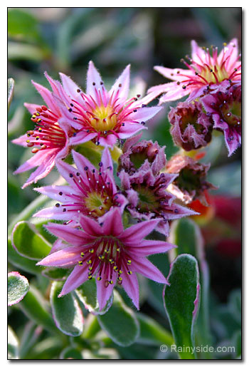 Sempervivum 'Silberspitz' flowers