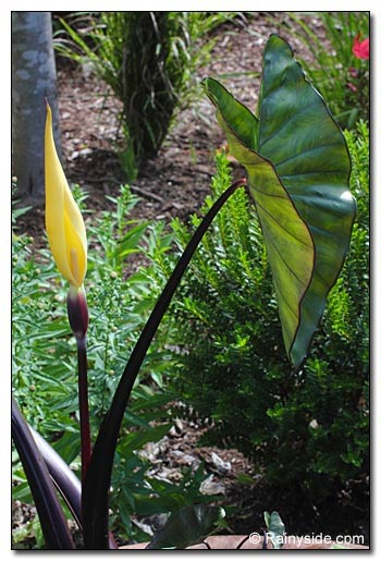 Colocasia Black Stem flower