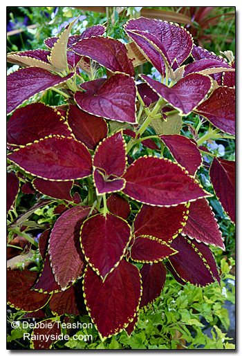 Coleus 'Brilliancy'