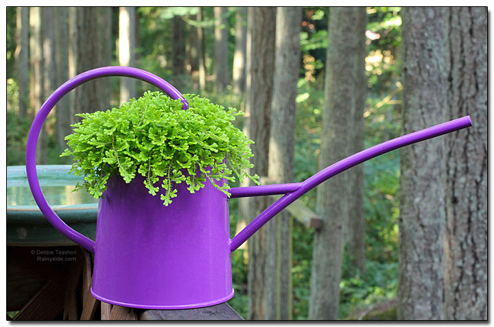 Spike moss in a watering can.