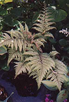 Eared lady fern