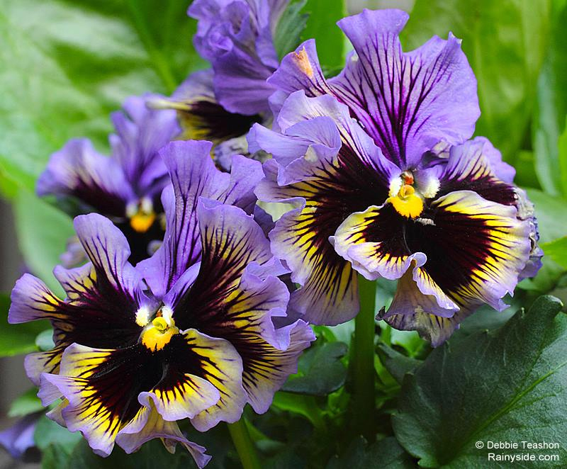 Frizzle Sizzle Pansy