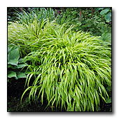 Japanese forest grass foliage