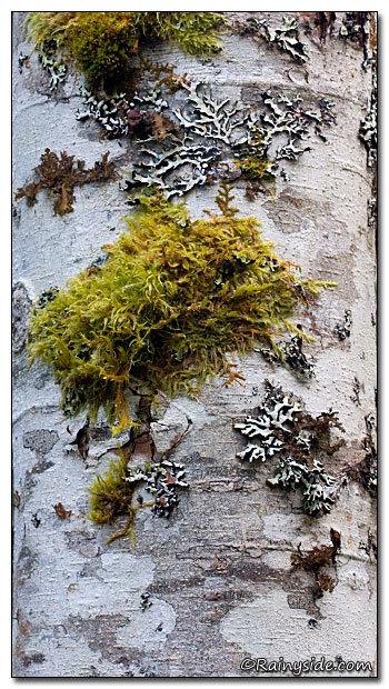 Alder Bark Covered in Lichen