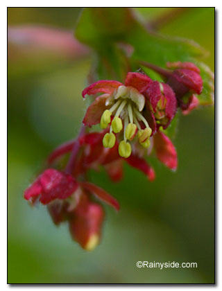 vine maple flower