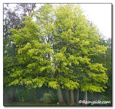 Acer Macrophyllum Big Leaf Maple