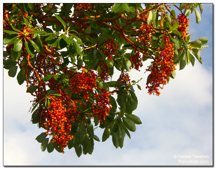 Madrone berries