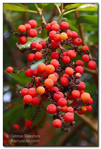 Madrona berries